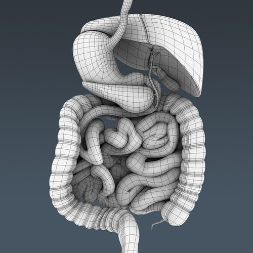 human body internal organs - anatomy 3d model max obj 3ds fbx c4d lwo lw lws 43