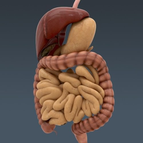 human body internal organs - anatomy 3d model max obj 3ds fbx c4d lwo lw lws 31