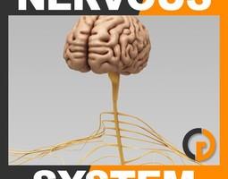 human brain and nervous system - anatomy 3d model max obj 3ds fbx c4d lwo lw lws