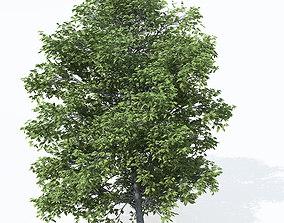 XfrogPlants Chestnut 3D model