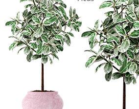 Ficus in pot 2 3D model