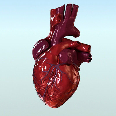 Organ 3d Heart Anatomy Cgtrader