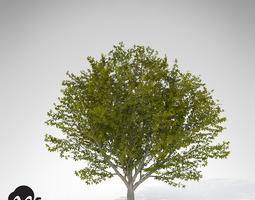 xfrogplants nikko maple 3d