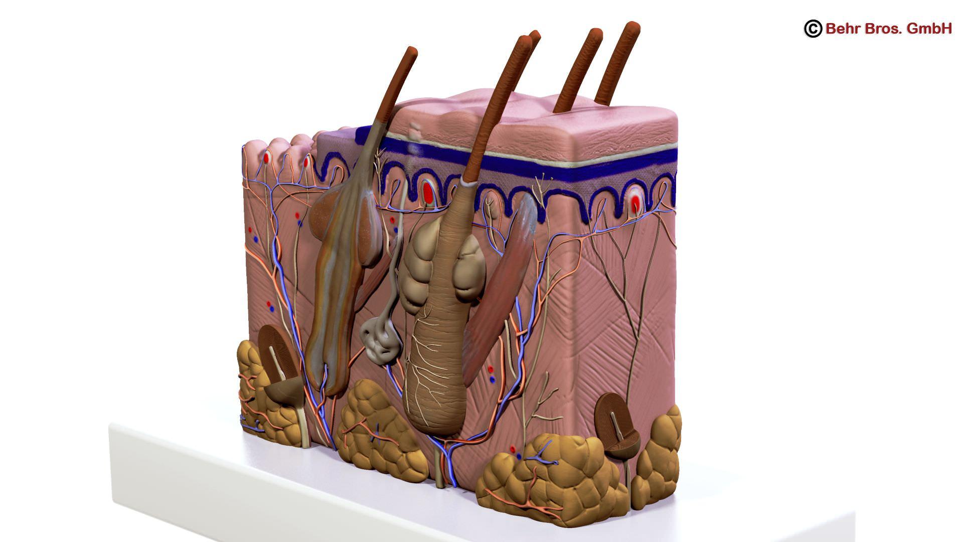 Skin Anatomy 3D | CGTrader