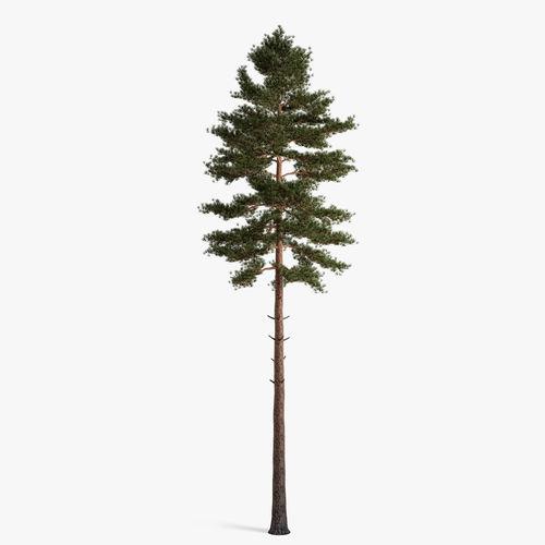 scots pine 3d model max obj mtl fbx 1