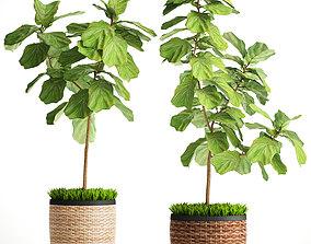 Ficus Lyrata Trees 3D model house