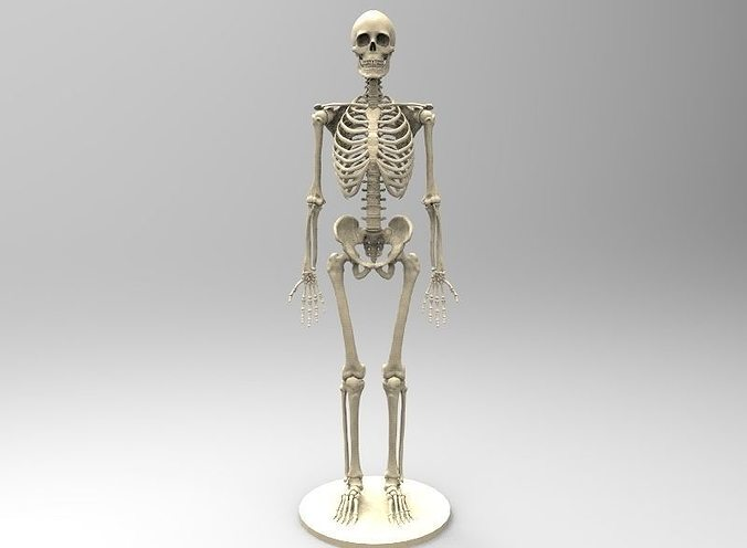 3d printable model human skeleton human anatomy cgtrader