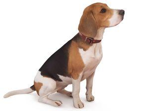 3D asset VR / AR ready Beagle