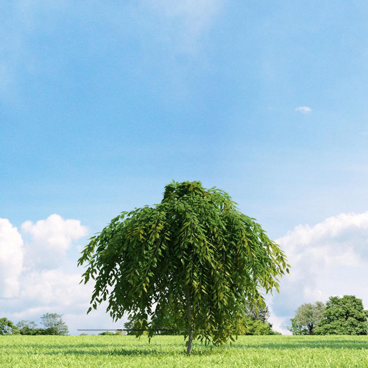 Salix repens var nitida 022 v1 AM136