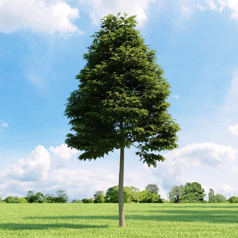 Quercus palustris 011 v1 AM136