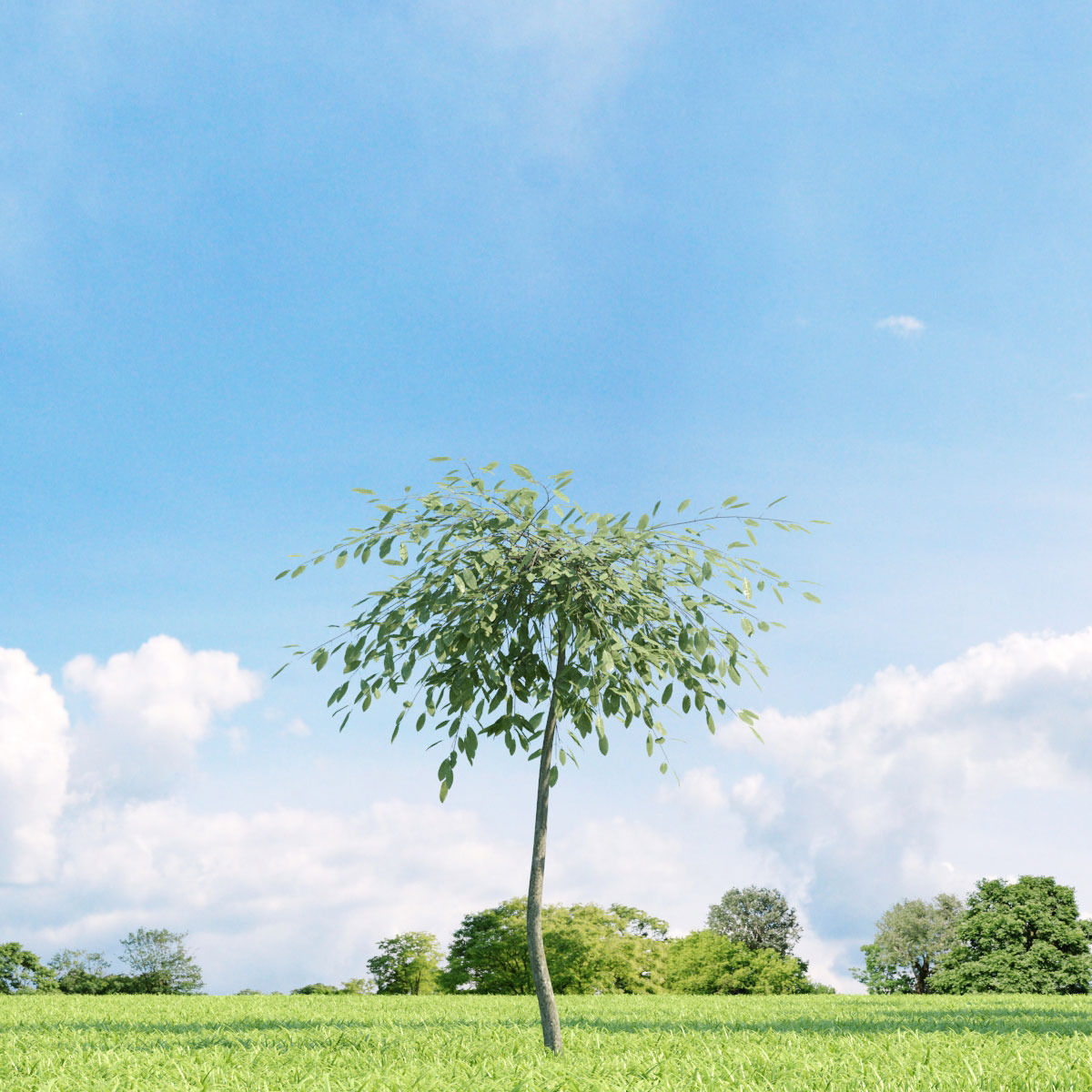 Salix repens var argentea 023 v3 AM136