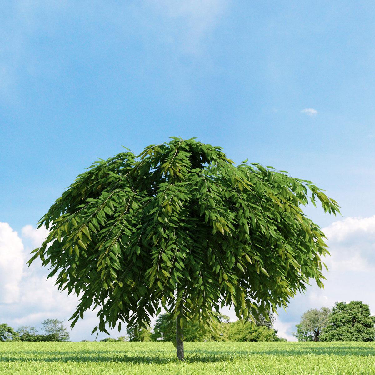 Salix repens var nitida 022 v2 AM136