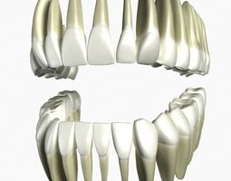 tooth 3D model Human Teeth