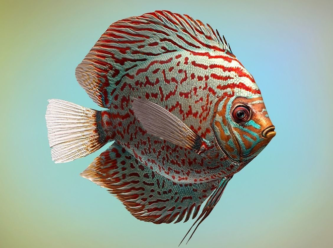 fish symphysodon discus 3d model low-poly rigged animated max 3ds fbx tga 1
