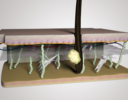 Skin Layers cross section 3D model