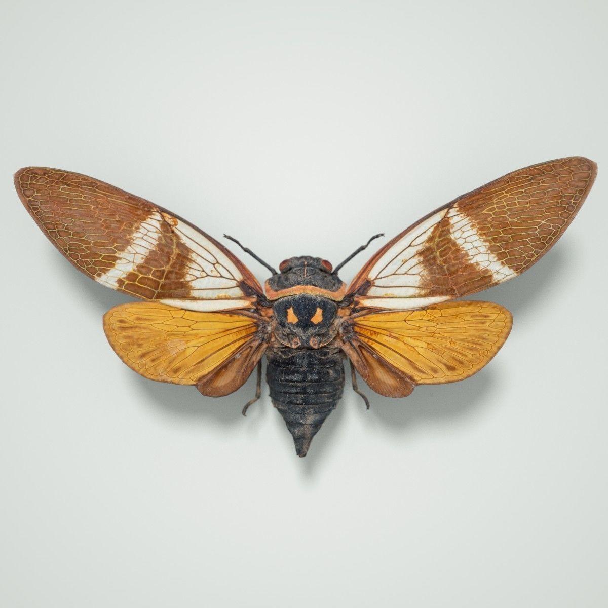 Cicada Anhamia Floridula Vietnam Insect