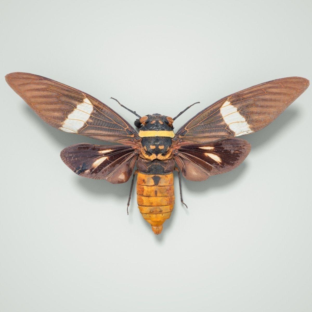 Cicada Tosena Fasciata Sumatra Insect