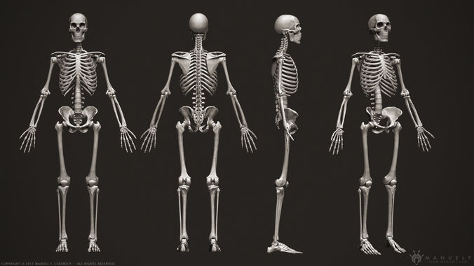 Human Skeleton Images Importantly Photo Gallery Website With Human ...