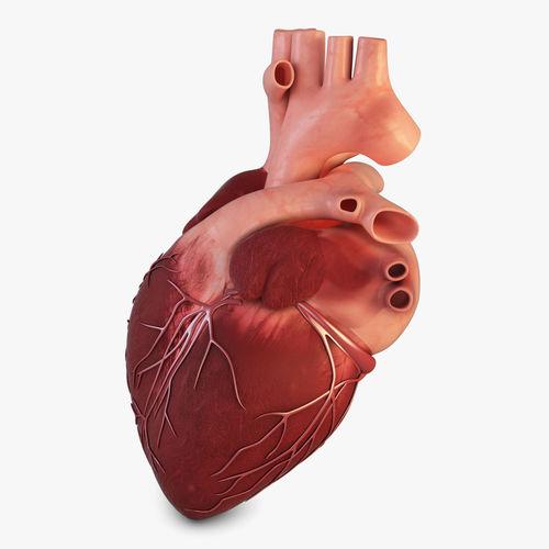 Human Heart | 3D model