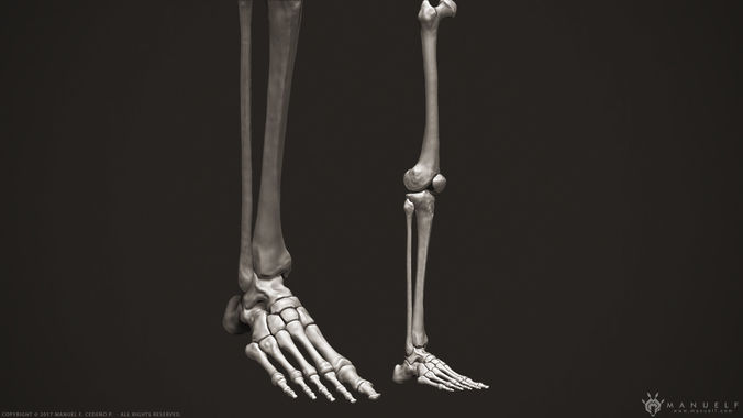 3d Human Leg Bones Cgtrader