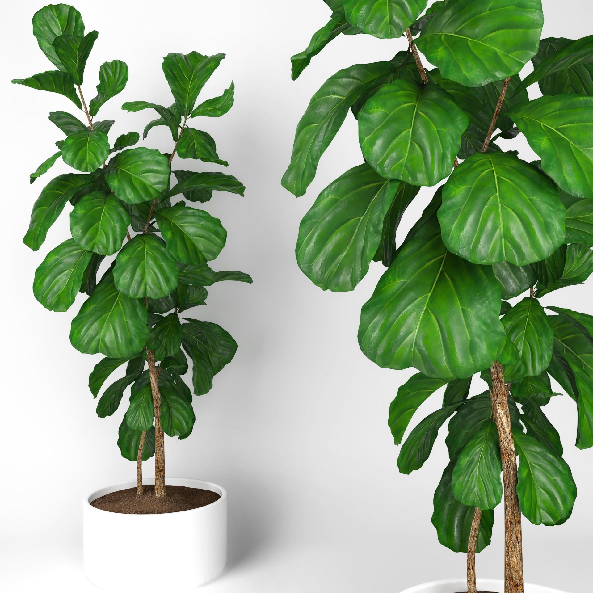 Fiddle Leaf Fig Tree 3d Model Max Obj Mtl 1 ...
