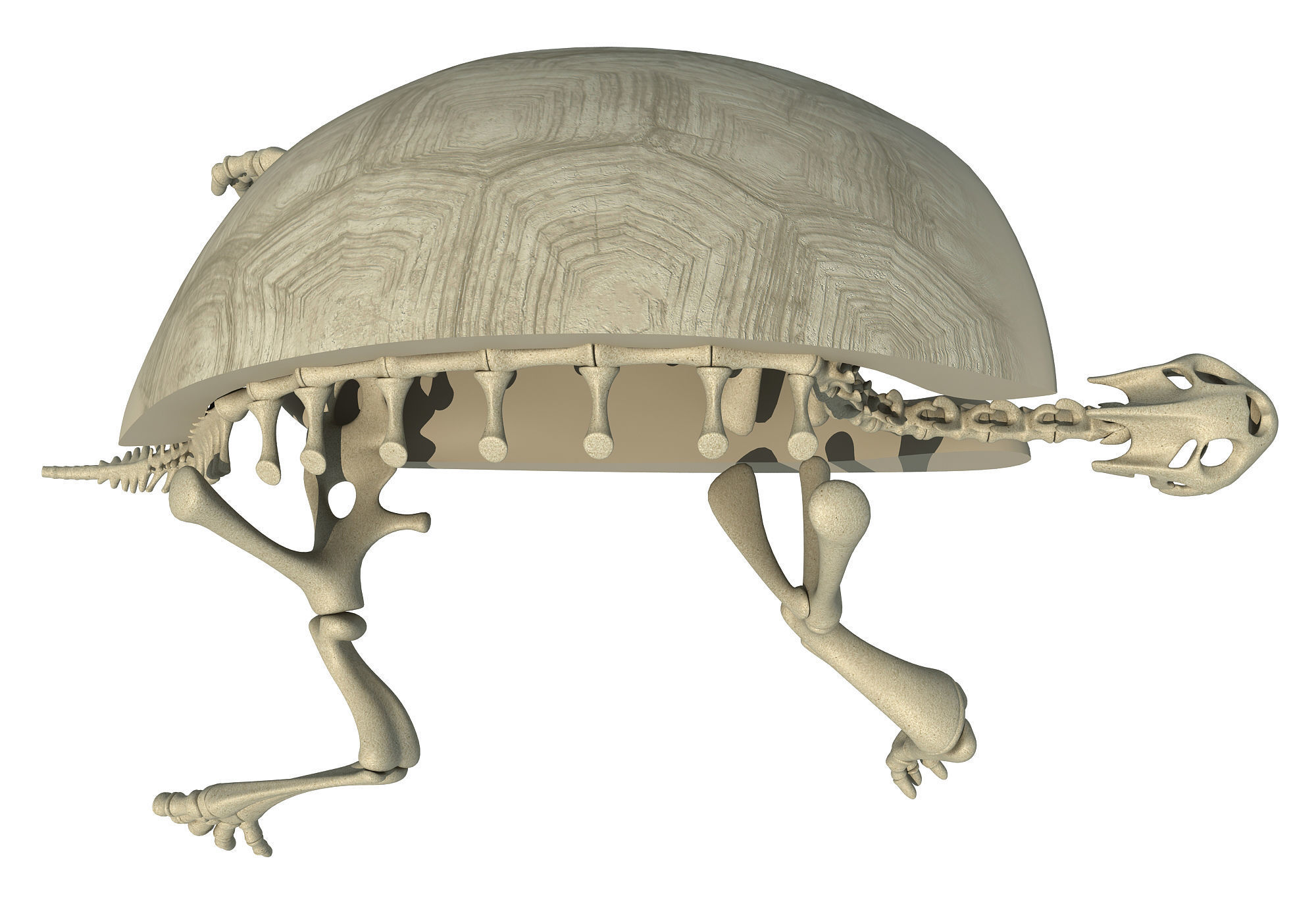 3d Skeleton Turtle Skeleton With Cutaway Shell Cgtrader