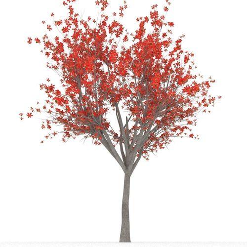 Bombax Cebia  tree