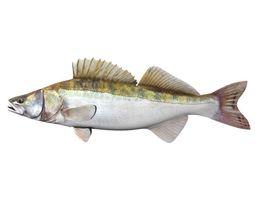 zander fish sander lucioperca 3d