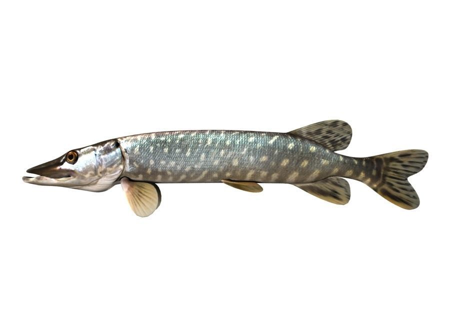 Pike Fish Esox Lucius