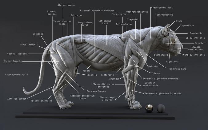 lion ecorche - model muscles study -  3d model obj mtl ztl 1