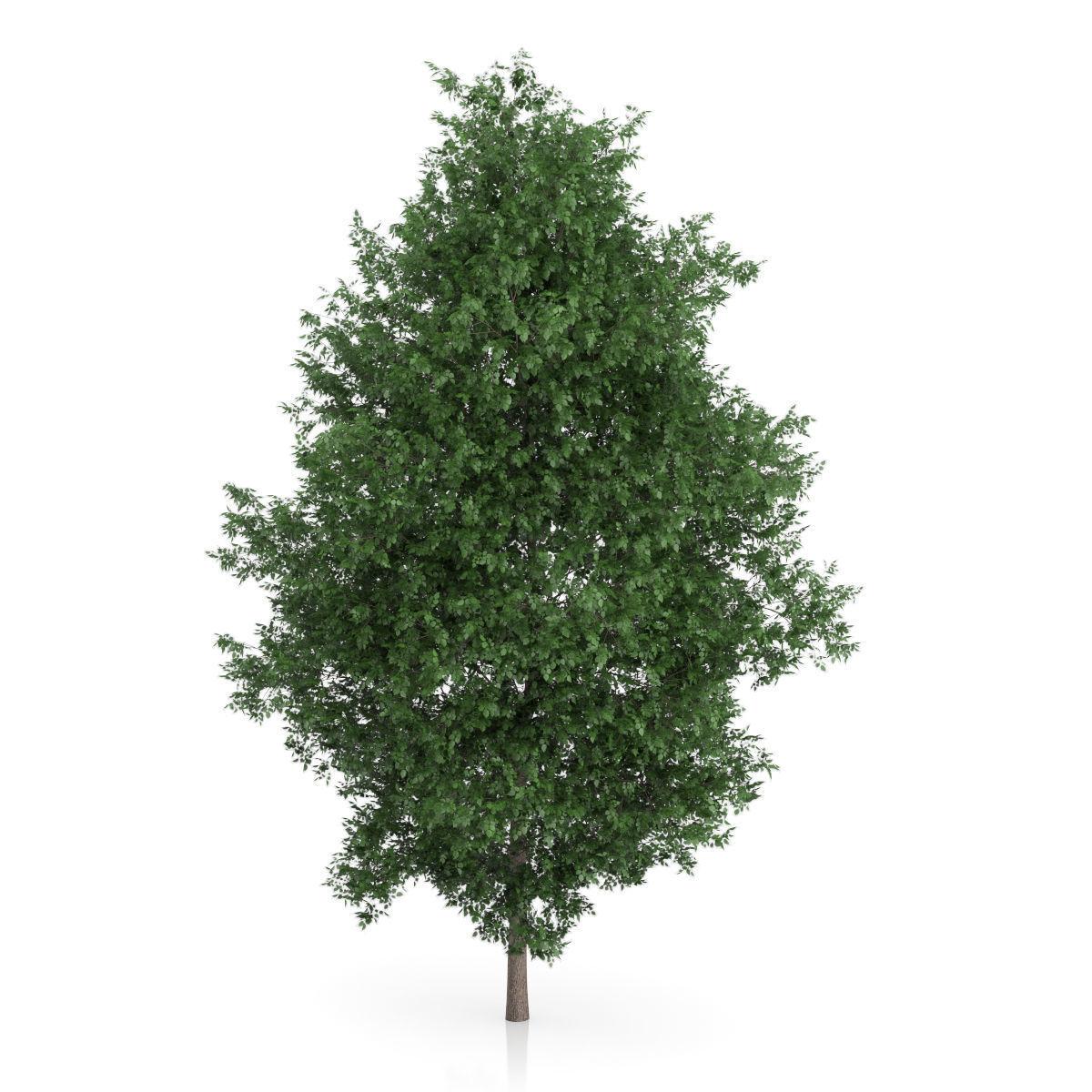 Large-leaved Lime Tree Tilia platyphyllos