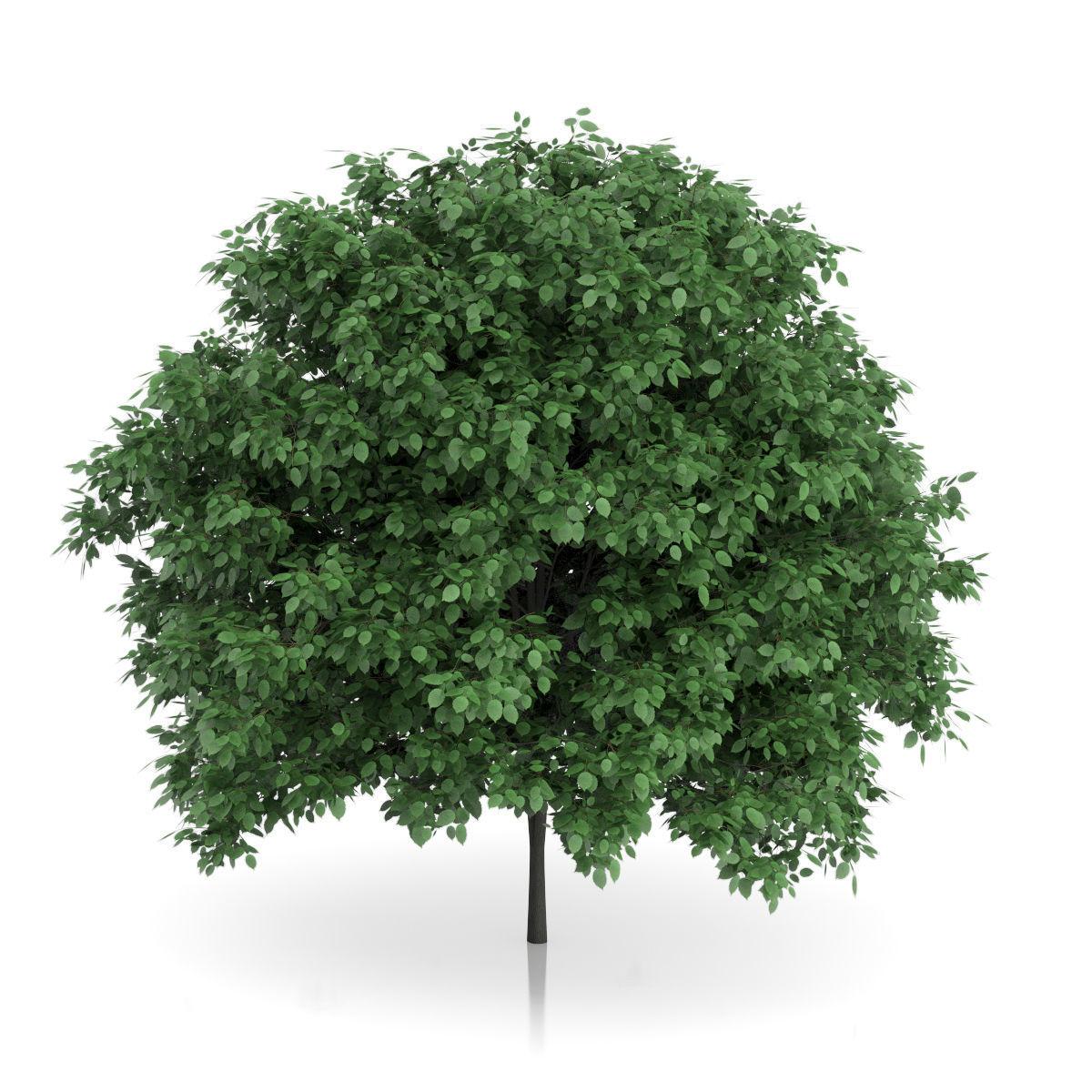 Common Hornbeam Tree Carpinus betulus