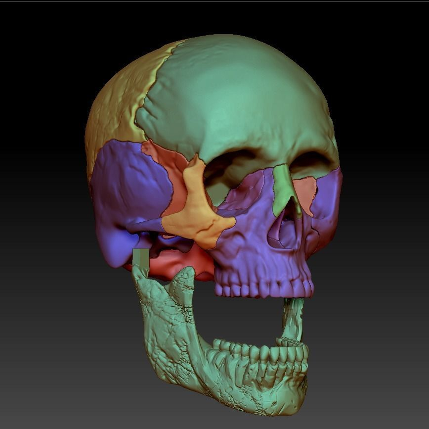 Human skull 3DP model cut in major bones
