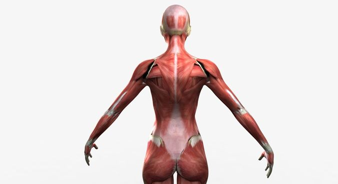 3d Detailed Full Female Muscle Anatomy Rigged Cgtrader