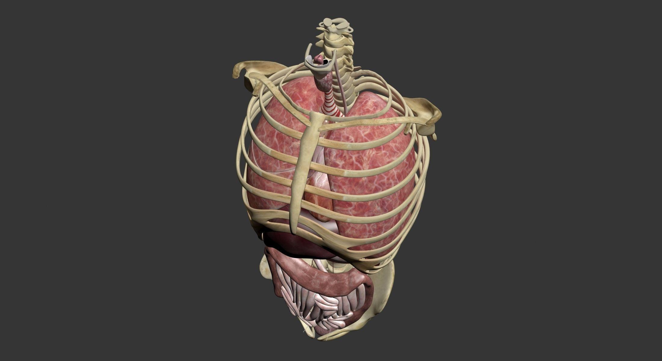3d Model Torso Anatomy Cgtrader