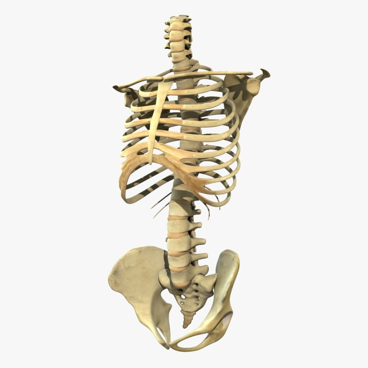 Skeleton Torso Anatomy 3d Cgtrader