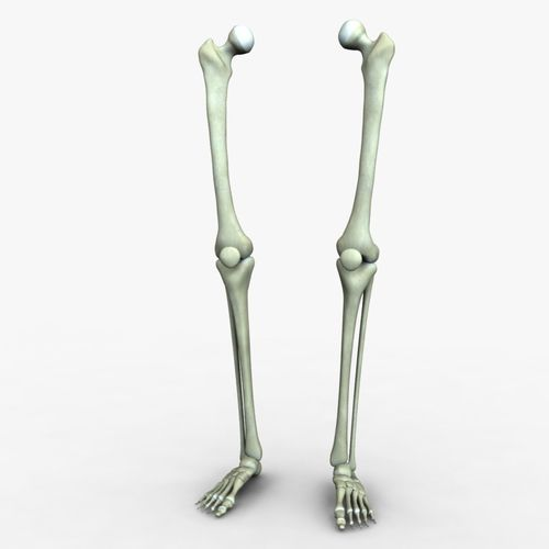 3D Human Leg Bones accurate | CGTrader