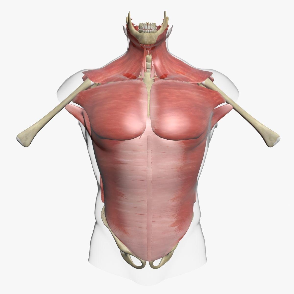 Human Torso Muscle Anatomy 3dsmax Cgtrader