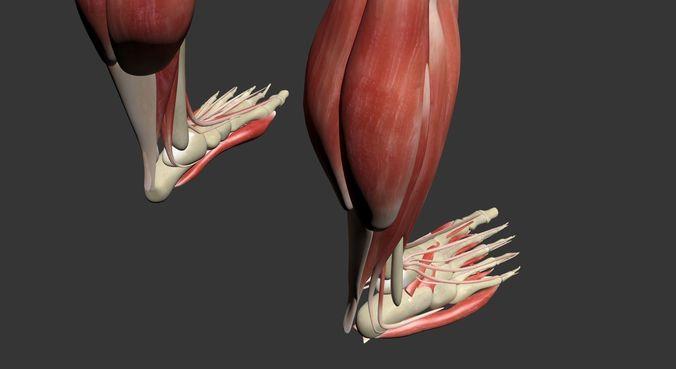 Human Leg Muscle Anatomy 3dsmax Cgtrader