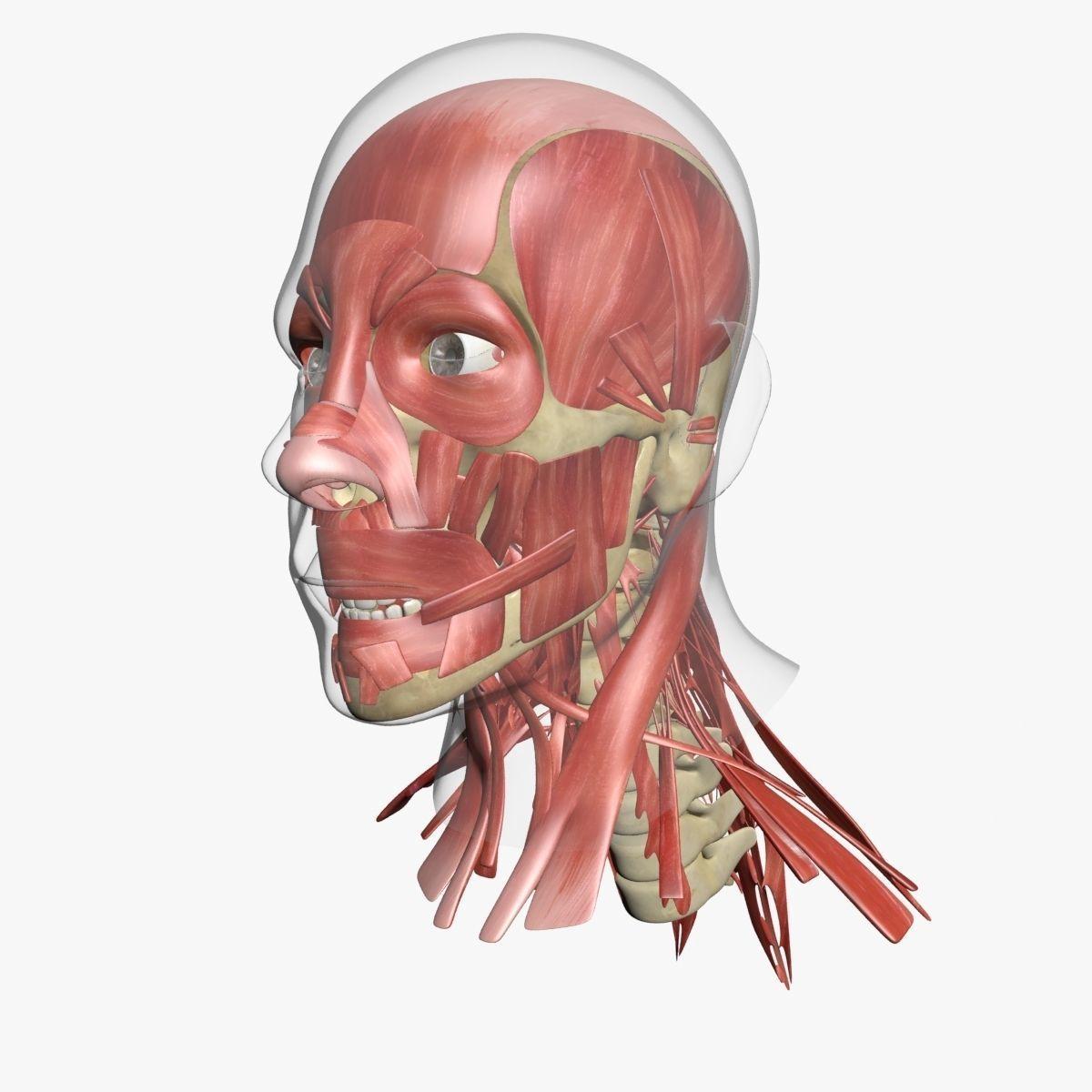 Human Face Muscle Anatomy 3dsmax Cgtrader