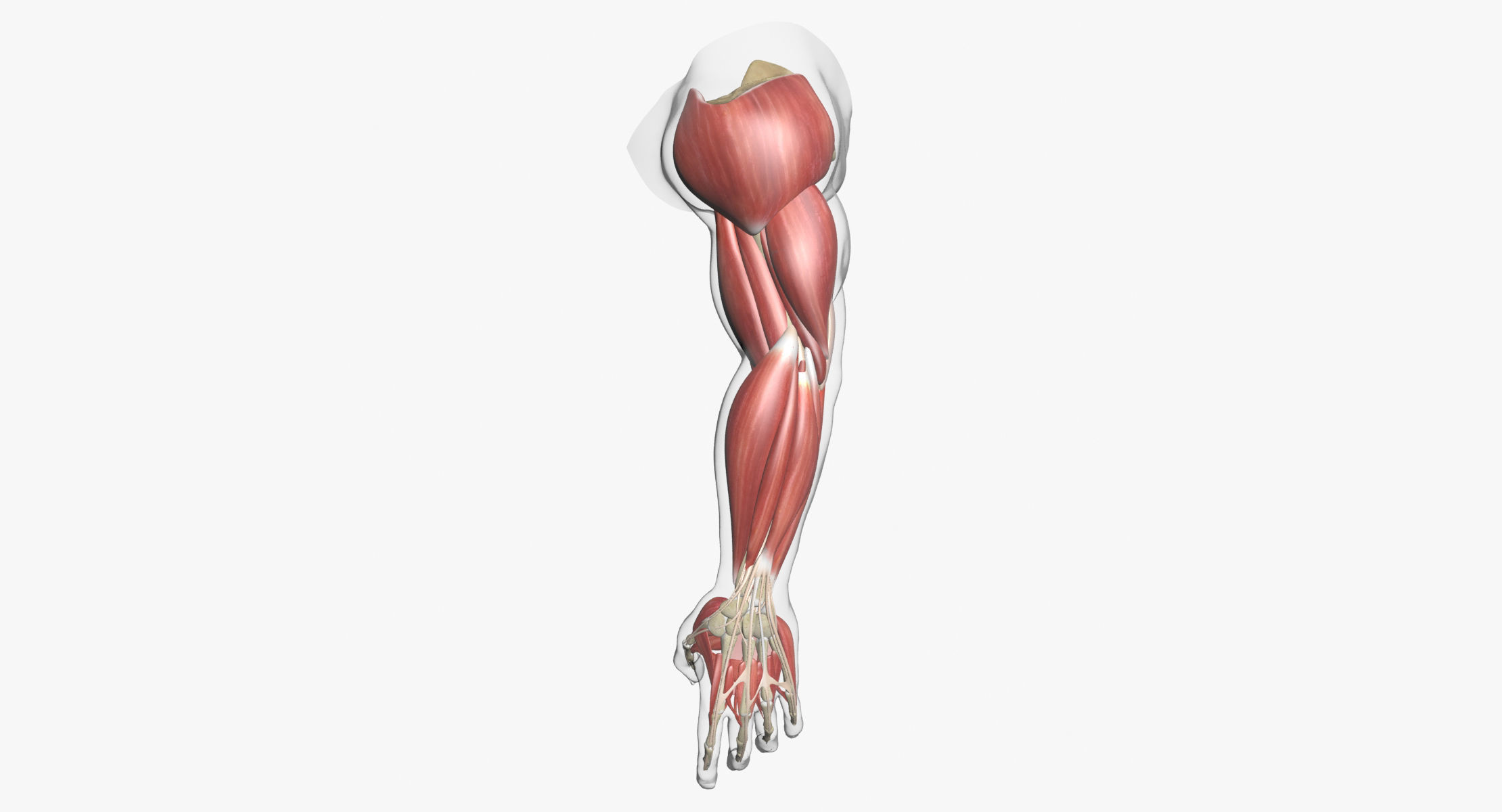 Human Arm Muscle Anatomy 3d Model Cgtrader