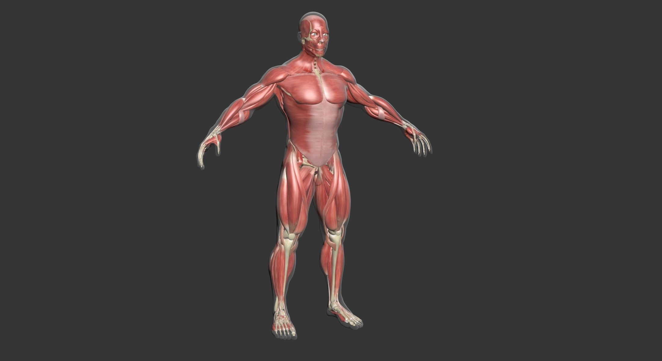 Human Male Complete Muscle Anatomy | 3D model