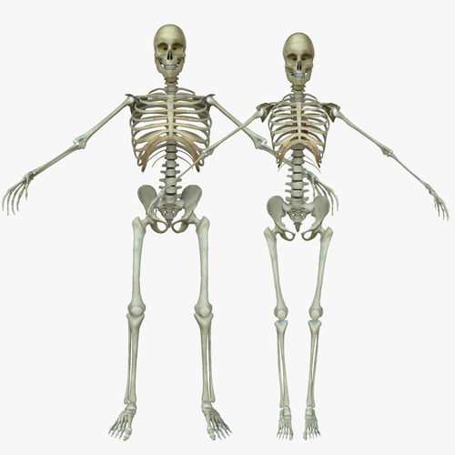 Male And Female Human Skeleton Anatomy 3d Cgtrader