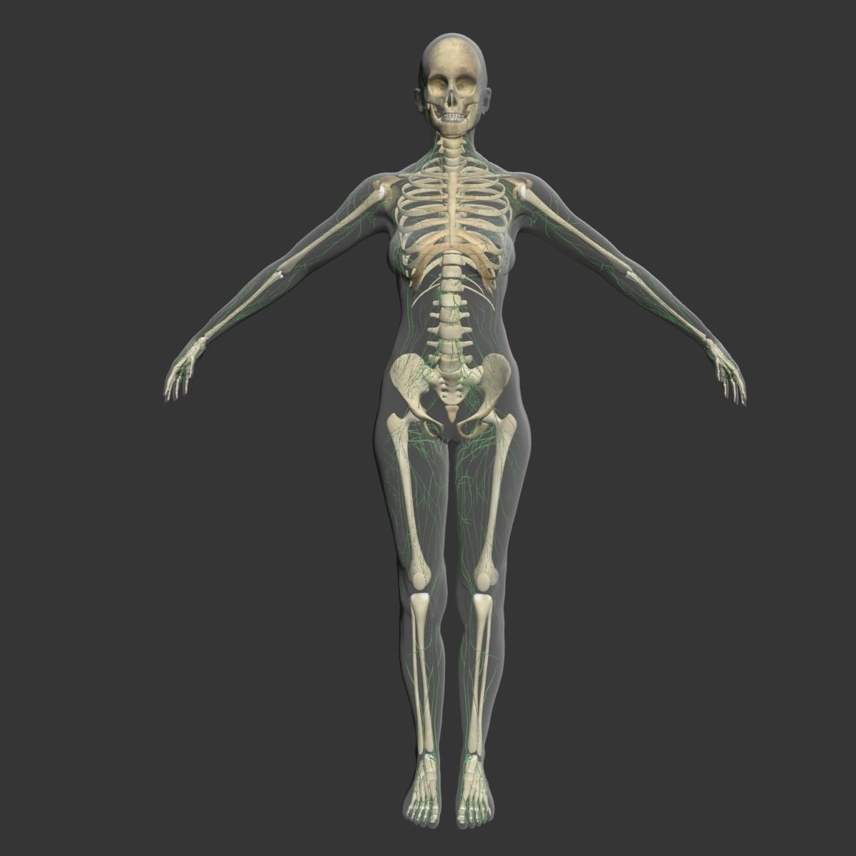 Lymphatic System with Skeleton Female 3DSmax | CGTrader