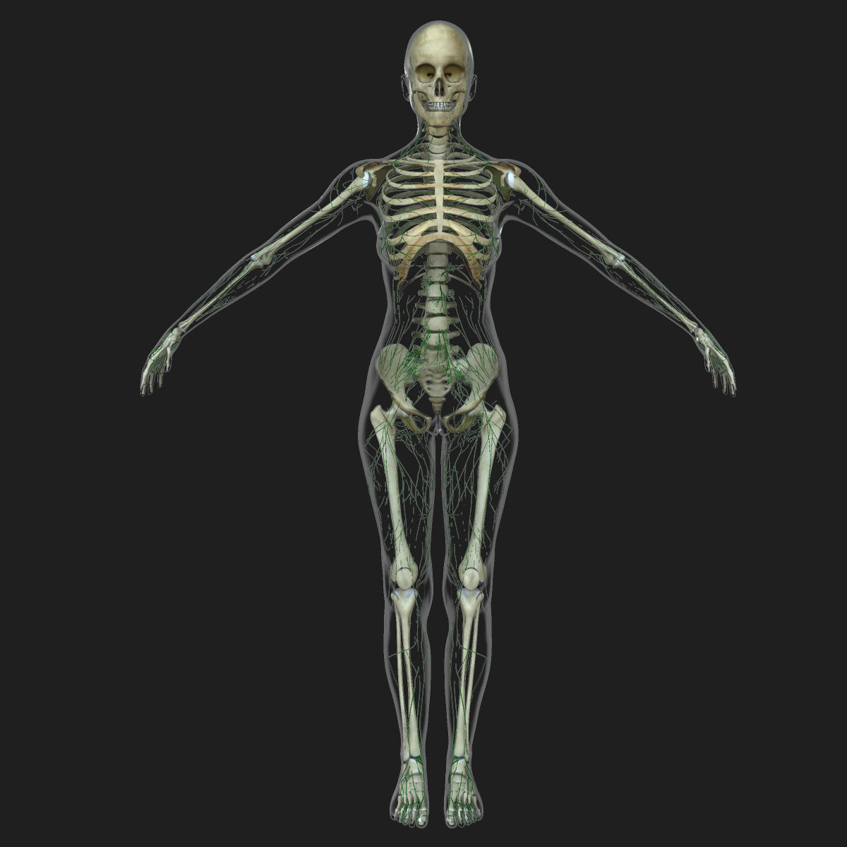 3d Model Male And Female Lymphatic System Collection
