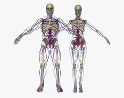 3D Male And Female Circulatory System Anatomy