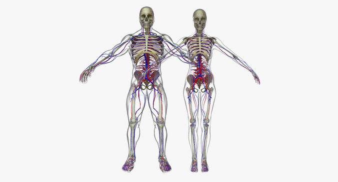 3d Male And Female Circulatory System Anatomy Cgtrader
