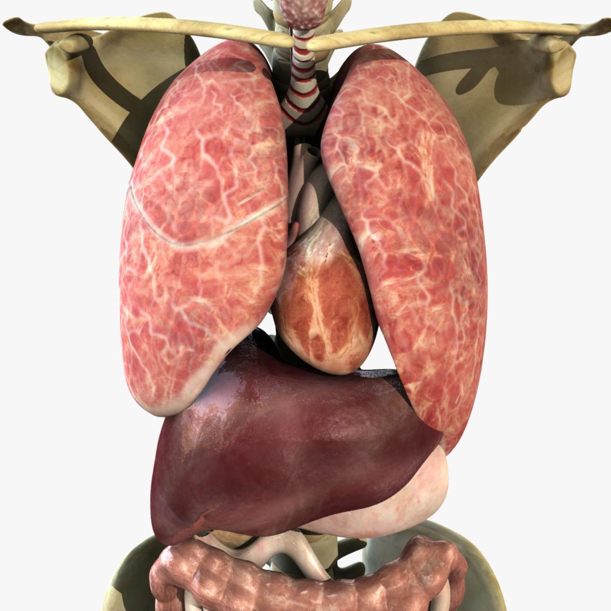 Human Torso Anatomy 3D | CGTrader