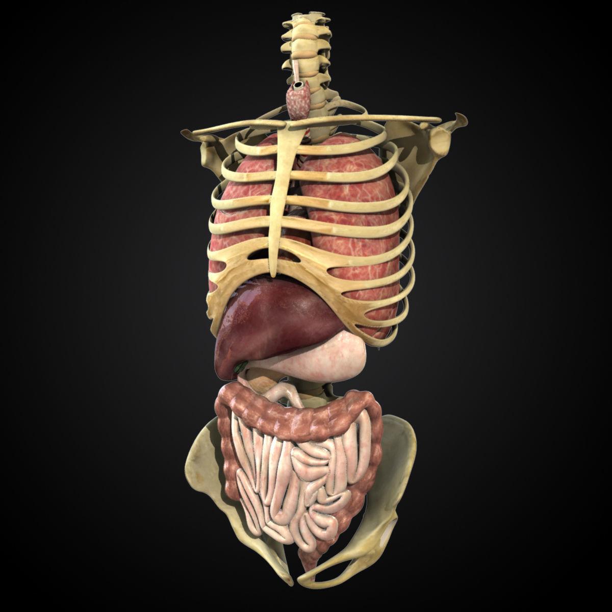 Human Torso Anatomy 3d Cgtrader