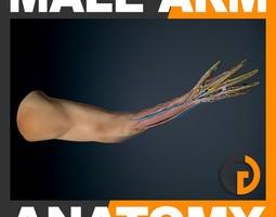 male arm anatomy 3d model max obj 3ds fbx c4d lwo lw lws